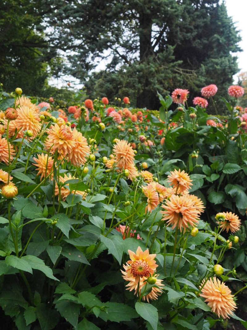 England Travel Inspiration - The Dahlia Festival at National Trust Property Anglesey Abbey, Cambridgeshire. This beautiful Country House is a time capsule to the 1920's thanks to Lord Fairhaven and the English Gardens are beautiful in winter thanks to the Snow Drops right through to Autumn with the colourful Dahlias - a perfect spot for a Sunday walk. Click to see more photos from our Day Out.